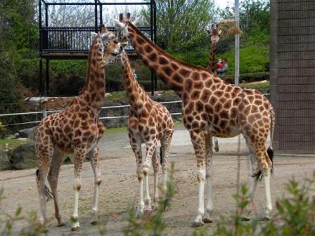 Giraffes at Belfast Zoo copyright Kenneth Allen from Georgraph