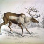 Image of Reindeer from William Jardine's The Naturalist's Library Vol 21 Mammalia: deer, antelopes, camels etc. (London: Chatto & Windus)